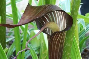 Arisaema triphyllum flower